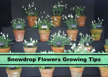 Snowdrop Flowers growing tips