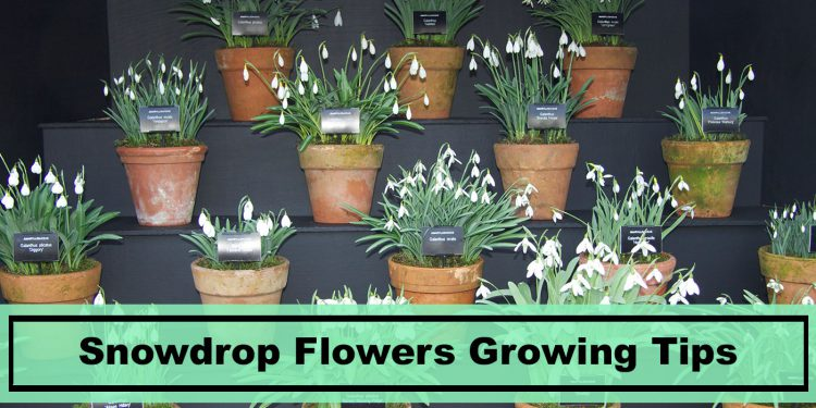 Snowdrop Flowers growing tips
