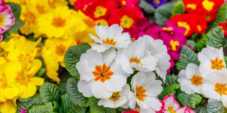Primroses flowers