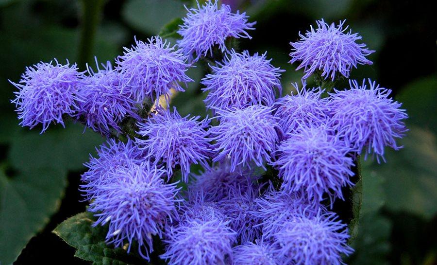 floss flower plants