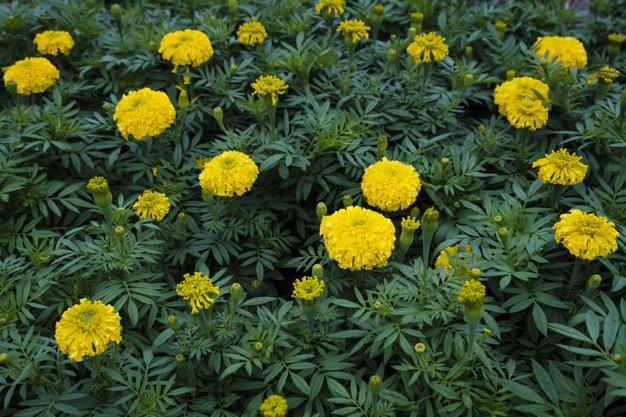 yellow marigold garden