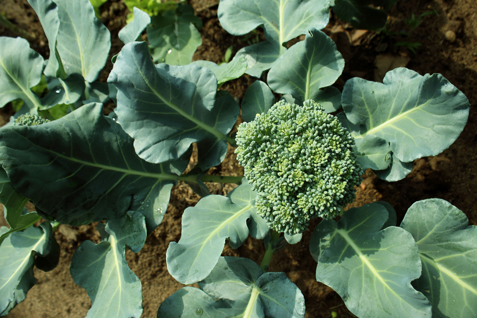 top view of broccoli and leaves