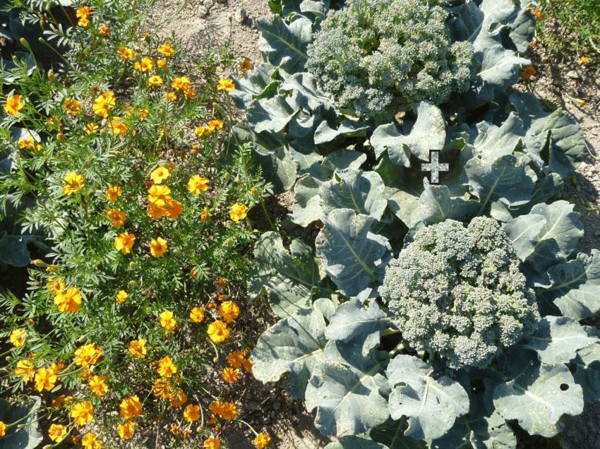 Marigold plants next to broccoli plants