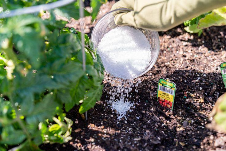 pouring epsom salt on top of soil