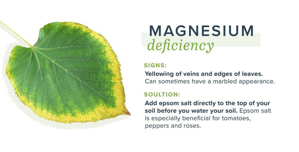 magnesium deficiency of what a plant leaf looks like