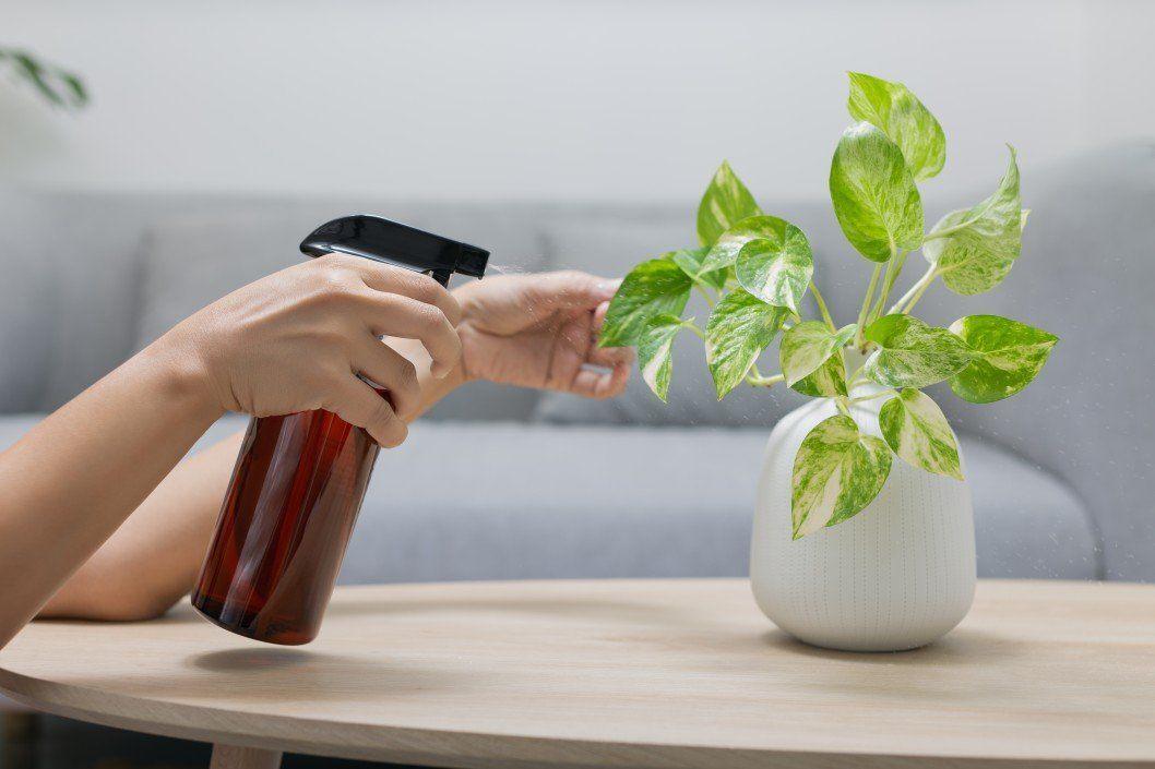 woman spraying liquid fertilizer with epsom salt on golden pothos leaves