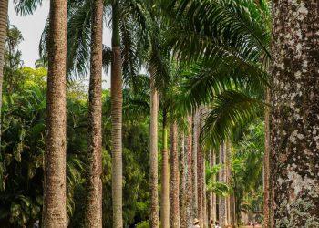 palm trees in jardim botanico rio de janeiro