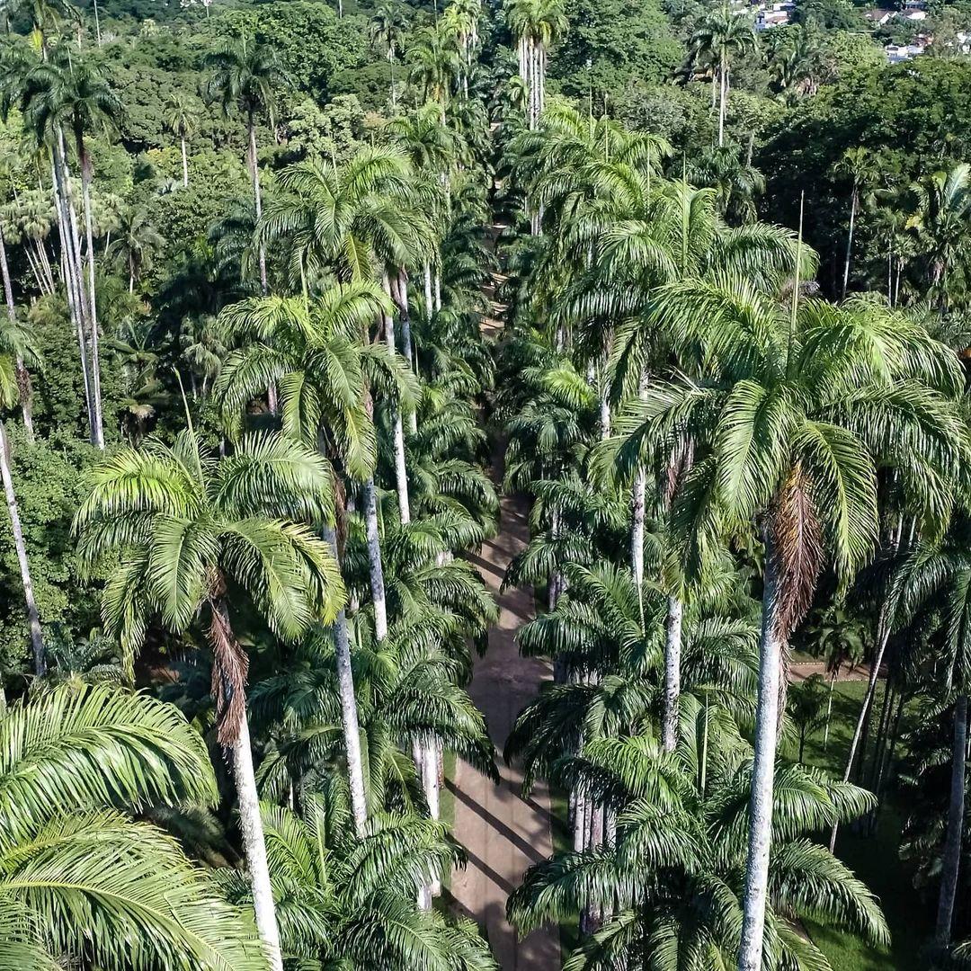 aerial view of the palm trees in jardim botanico rio de janeiro