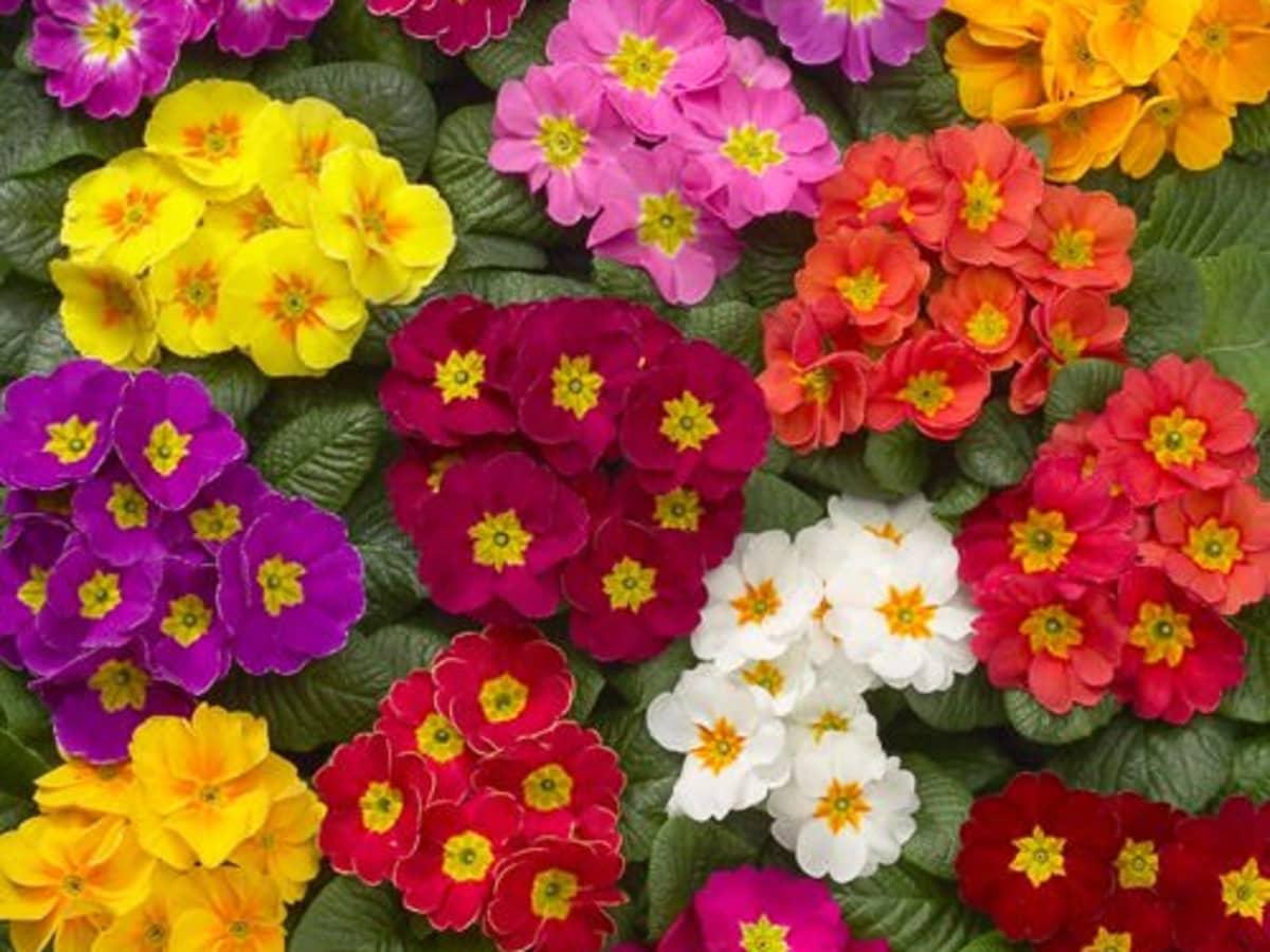 colorful primerose flowers