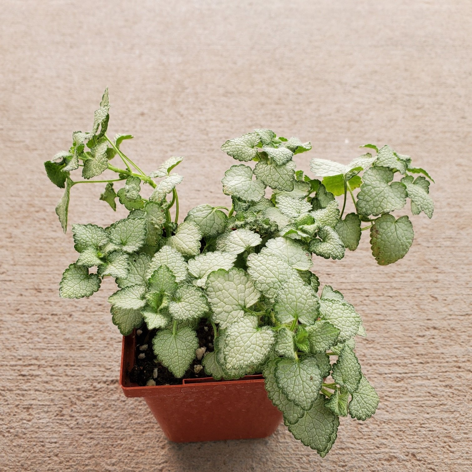 Lamium Maculatum Deadnettle houseplant