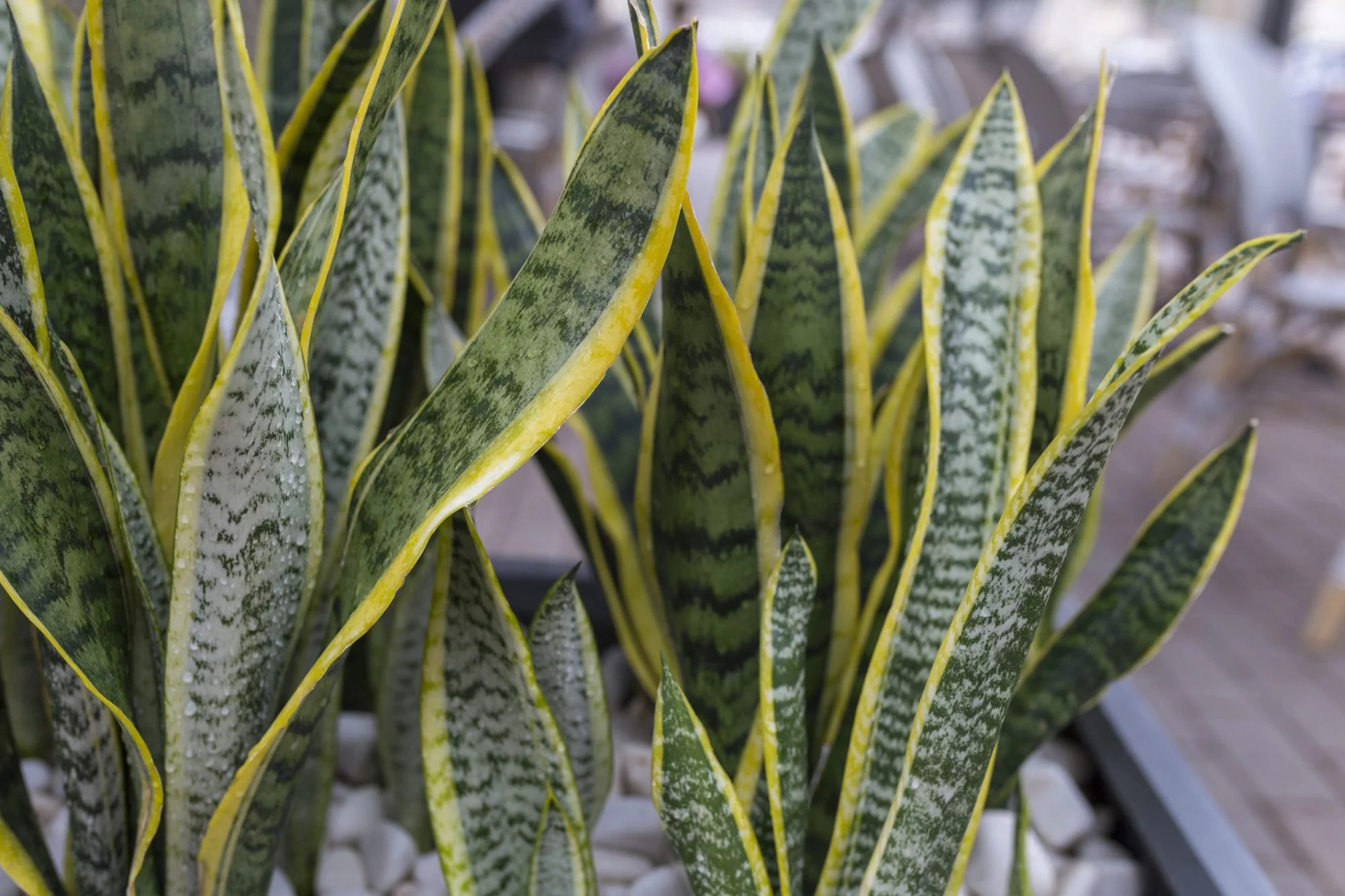 close up view of snake plants