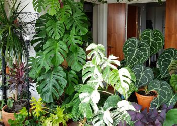 variated monstera houseplants