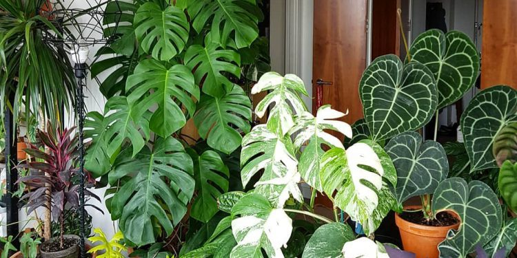 variated monstera houseplants