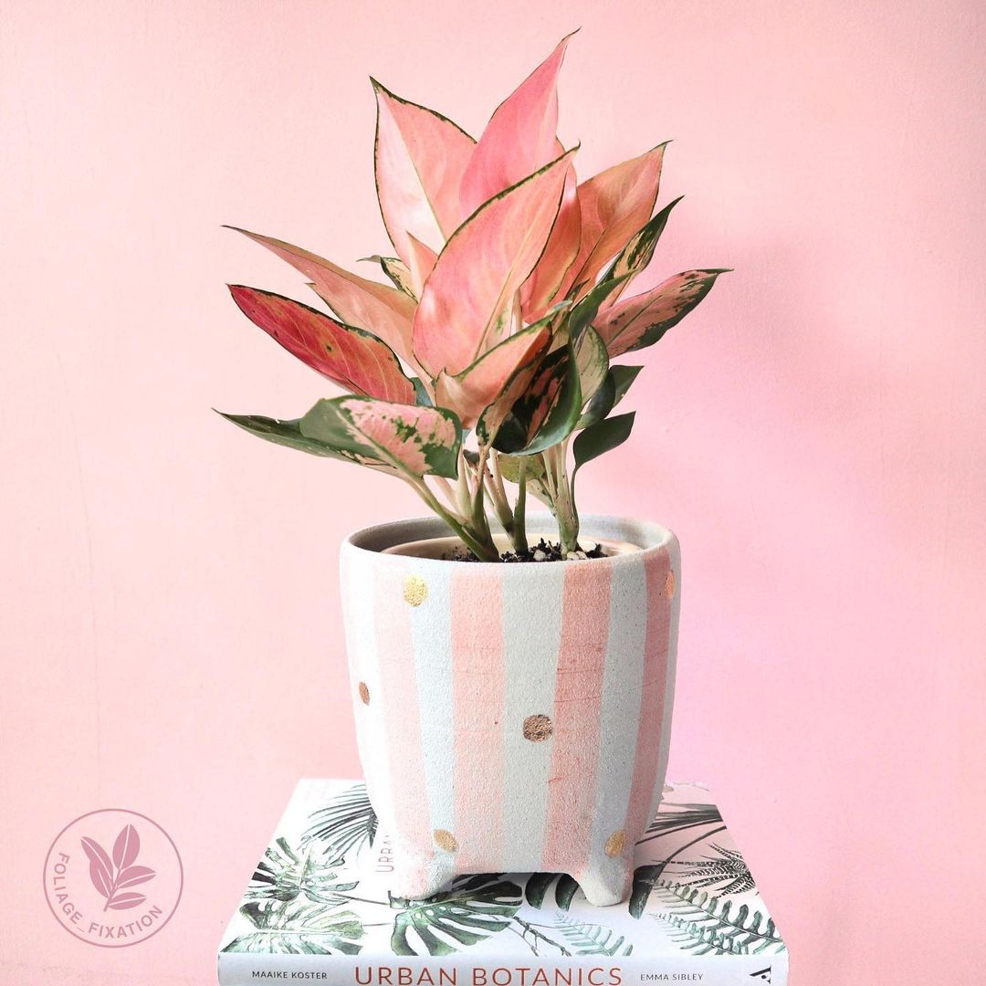 pink strip pot with pink chinese evergreen plant