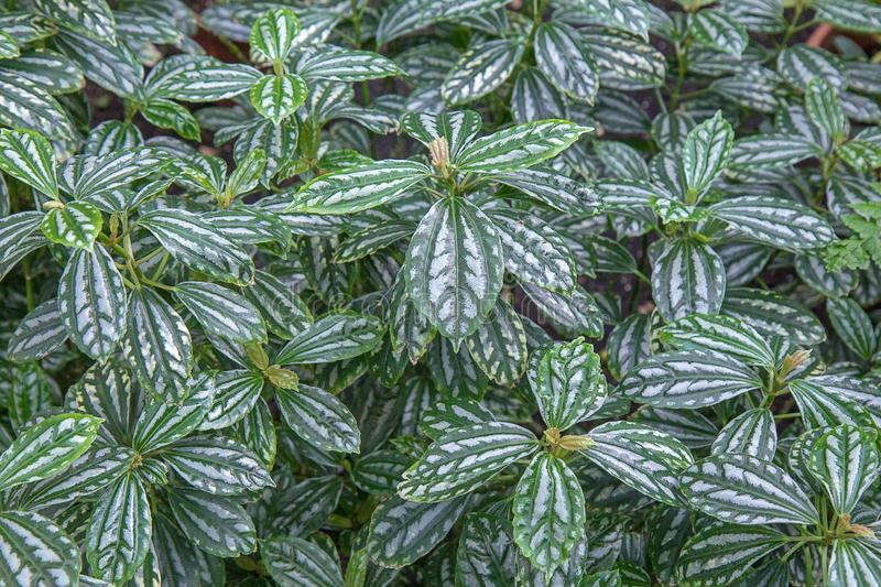 Aluminum Plant Pilea Cardierei.