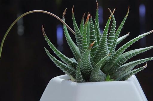 Haworthia zebra plant