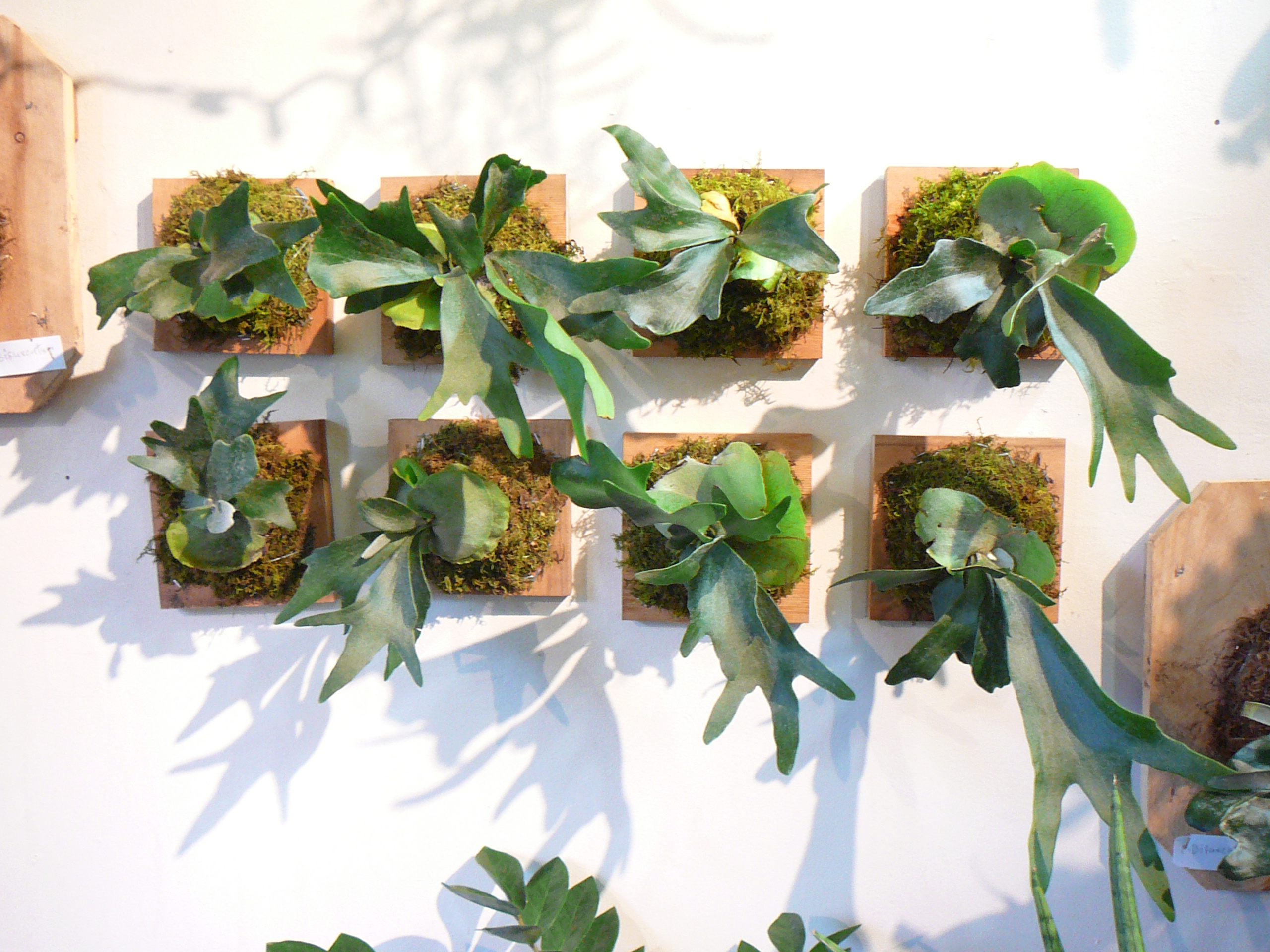 Staghorn fern on the wall