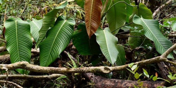 philodendron in jungle