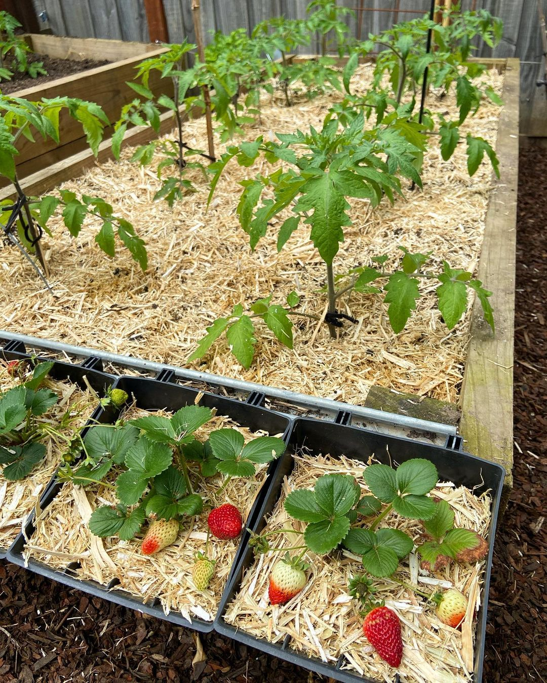 raised garden with sawdust on top of soil