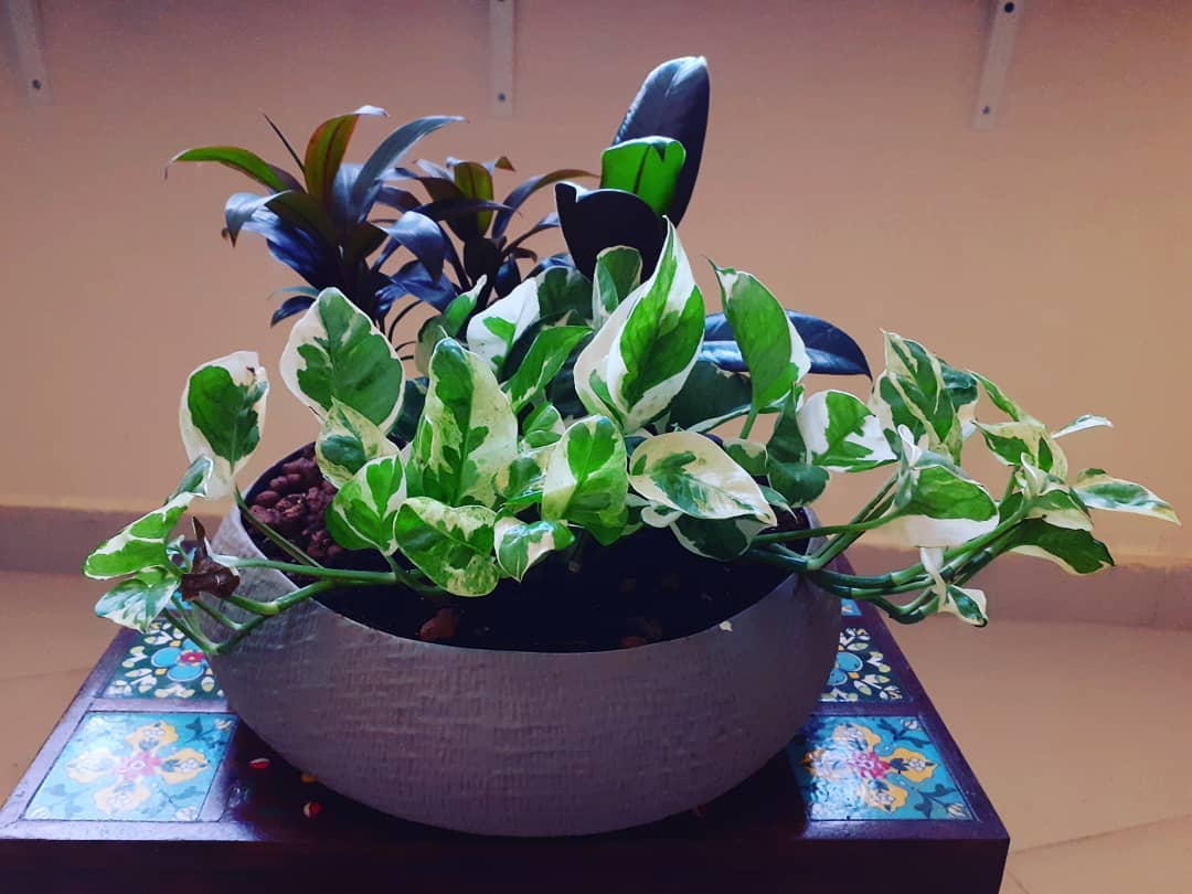 Pothos, dracaena and rubber plant in one planter