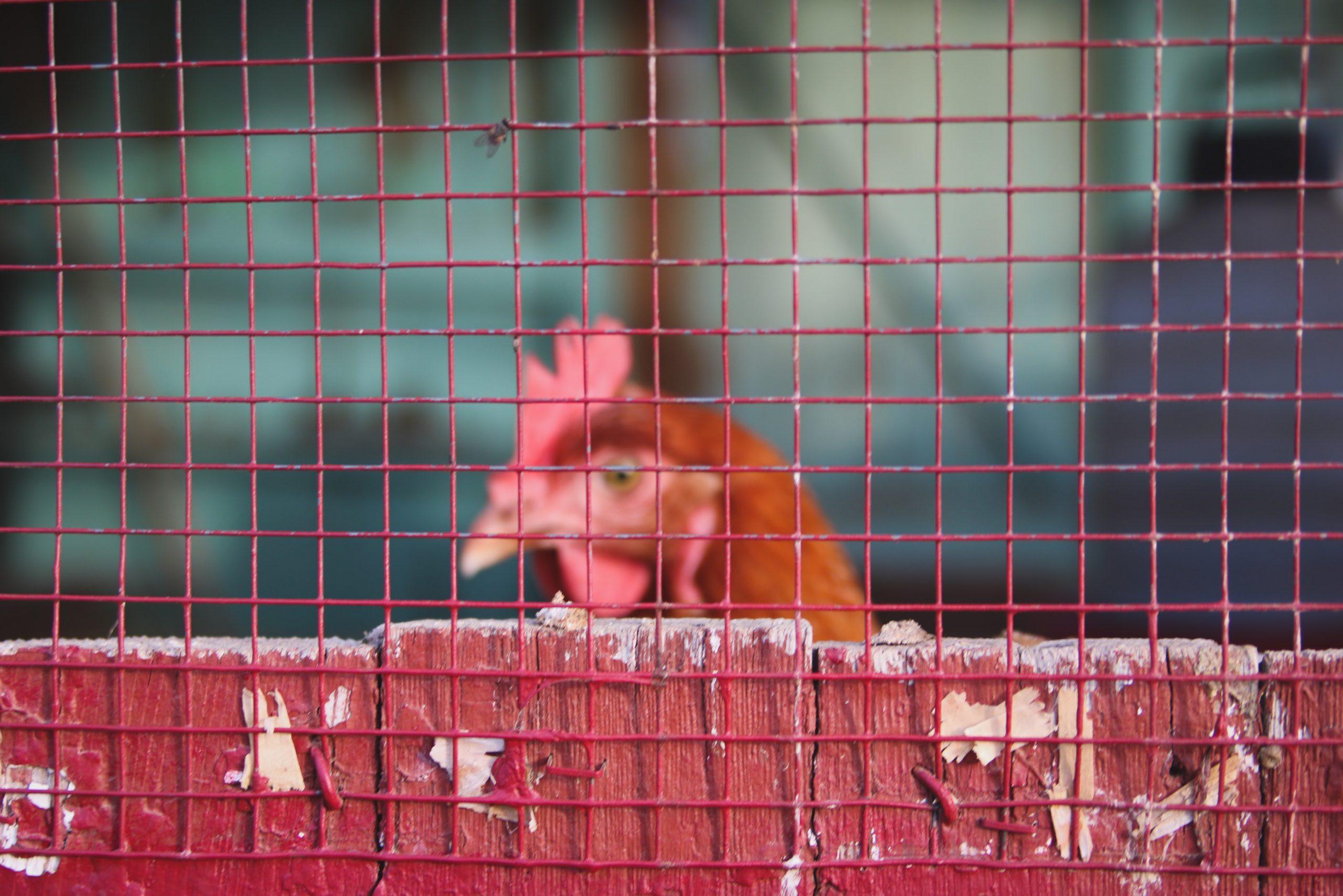 turkey head caged