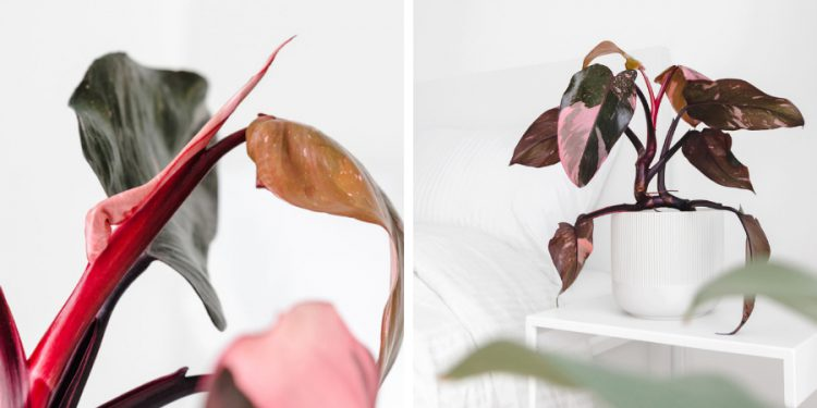 pink princess philodendron houseplant