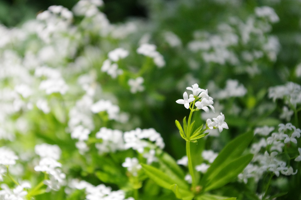 sweet woodruff flowering ground cover plant