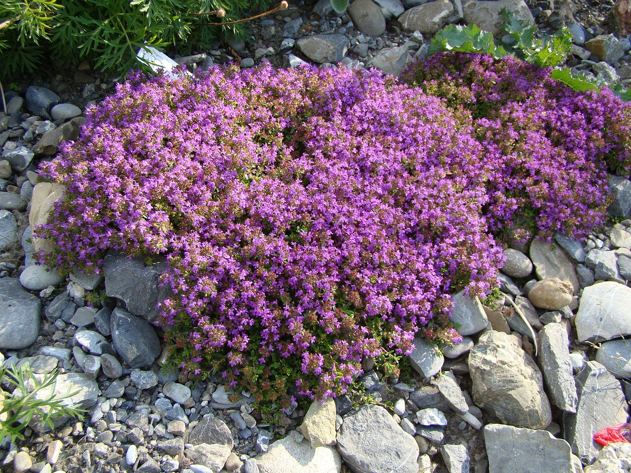 purple creeping thyme ground cover plant