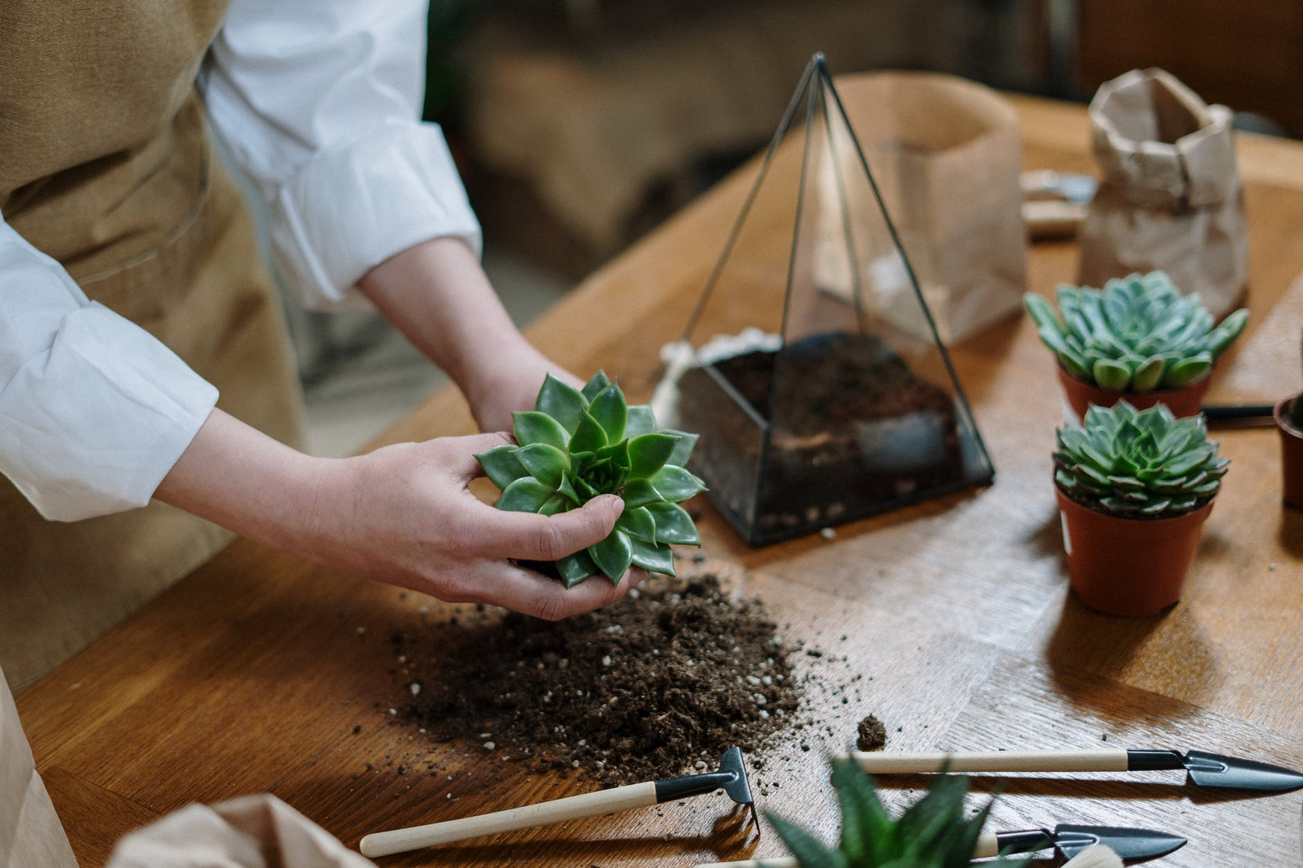 woman's hands with potting soil and succulent