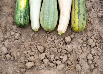 different types of zucchini on the ground