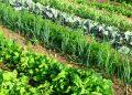 onion comparison plants