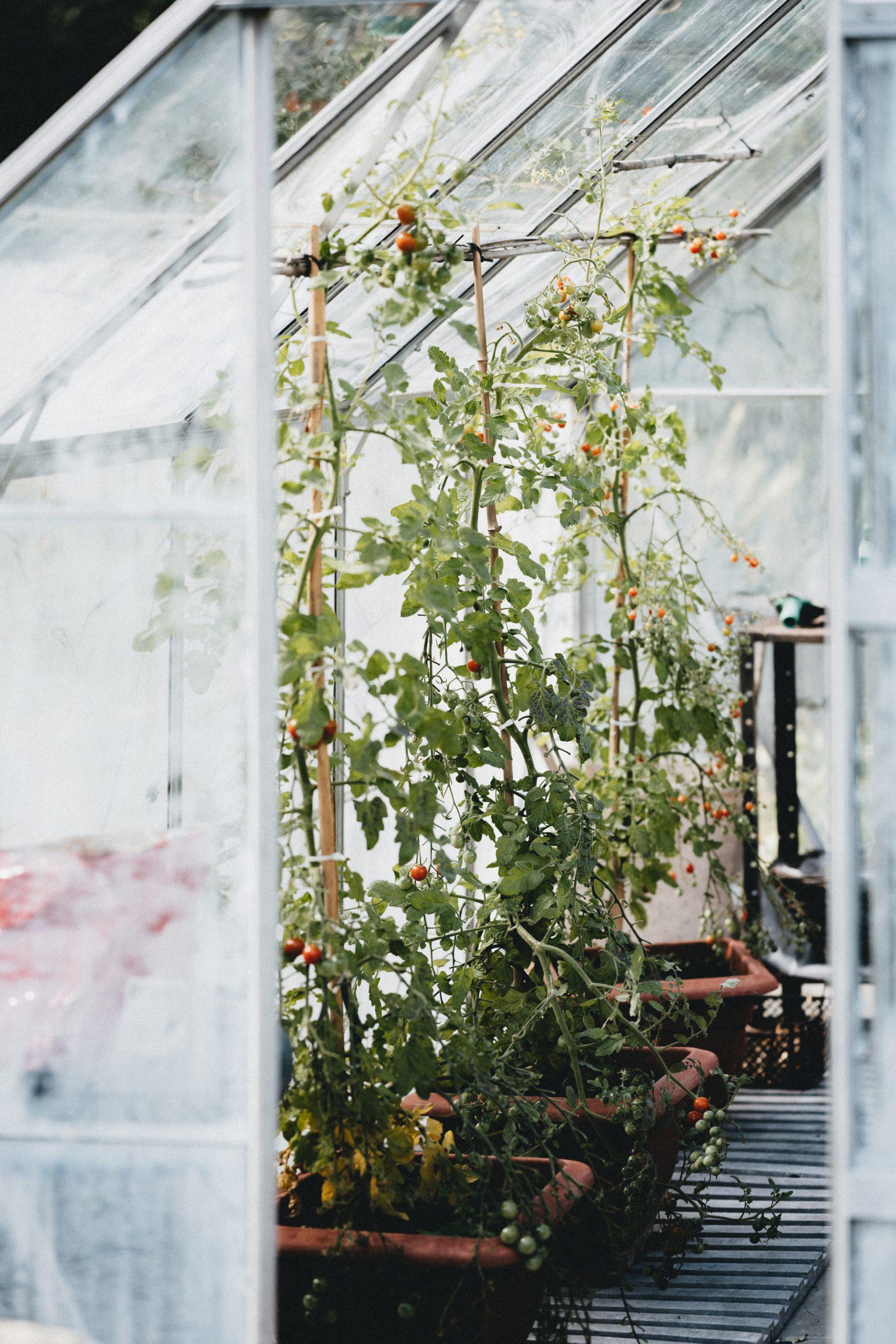 tomatoe tree in greenhouse