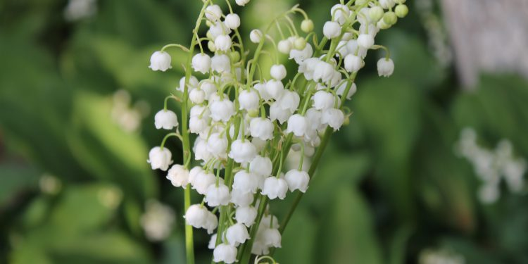 close view of the lily of the valley bell plants