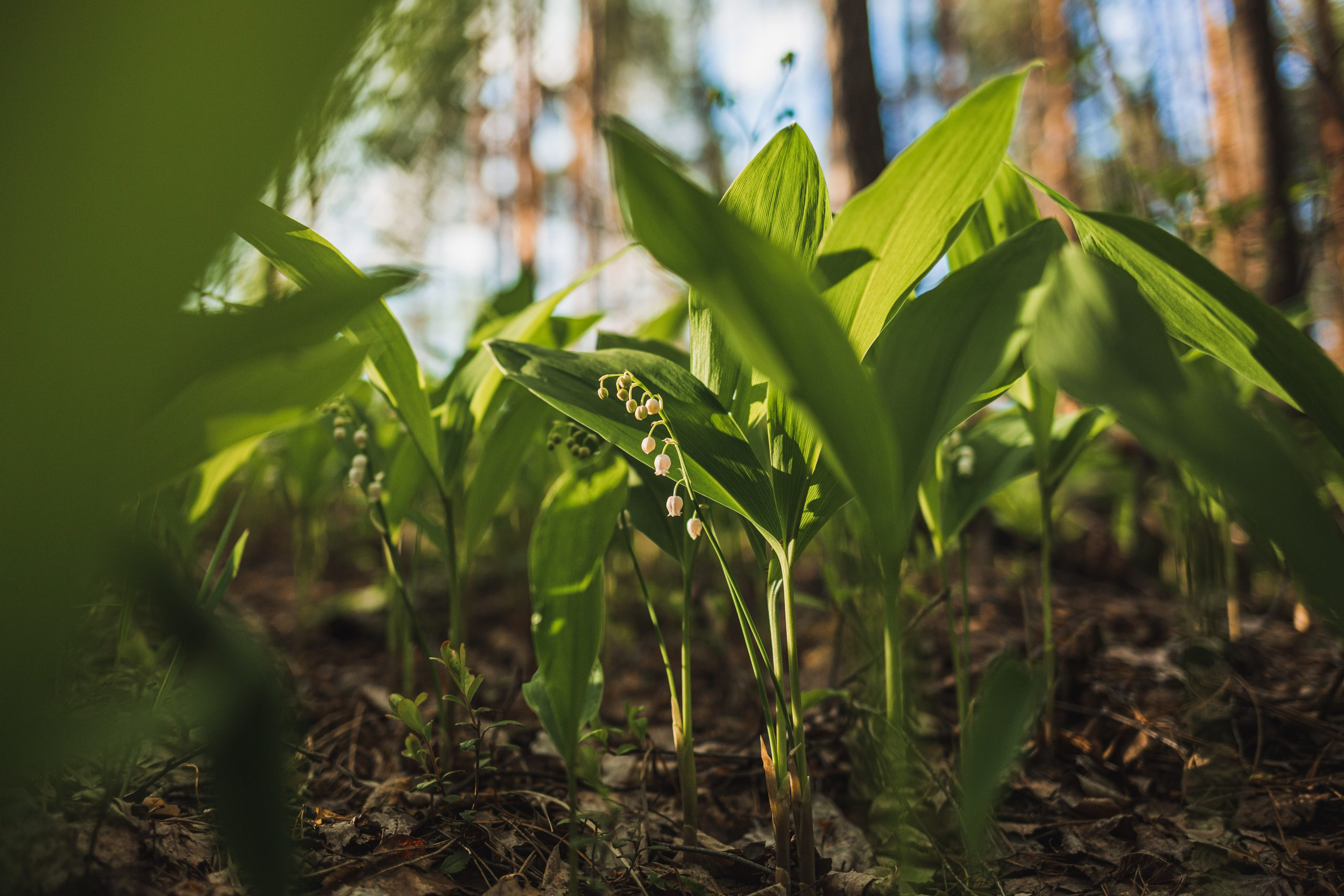 lily in the valley growing in the wild