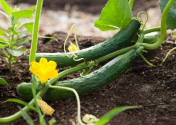 close up of cucumbers growing