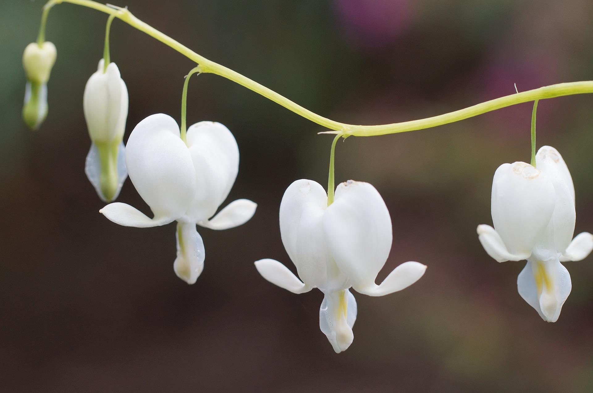 dicentra white bleeding heart