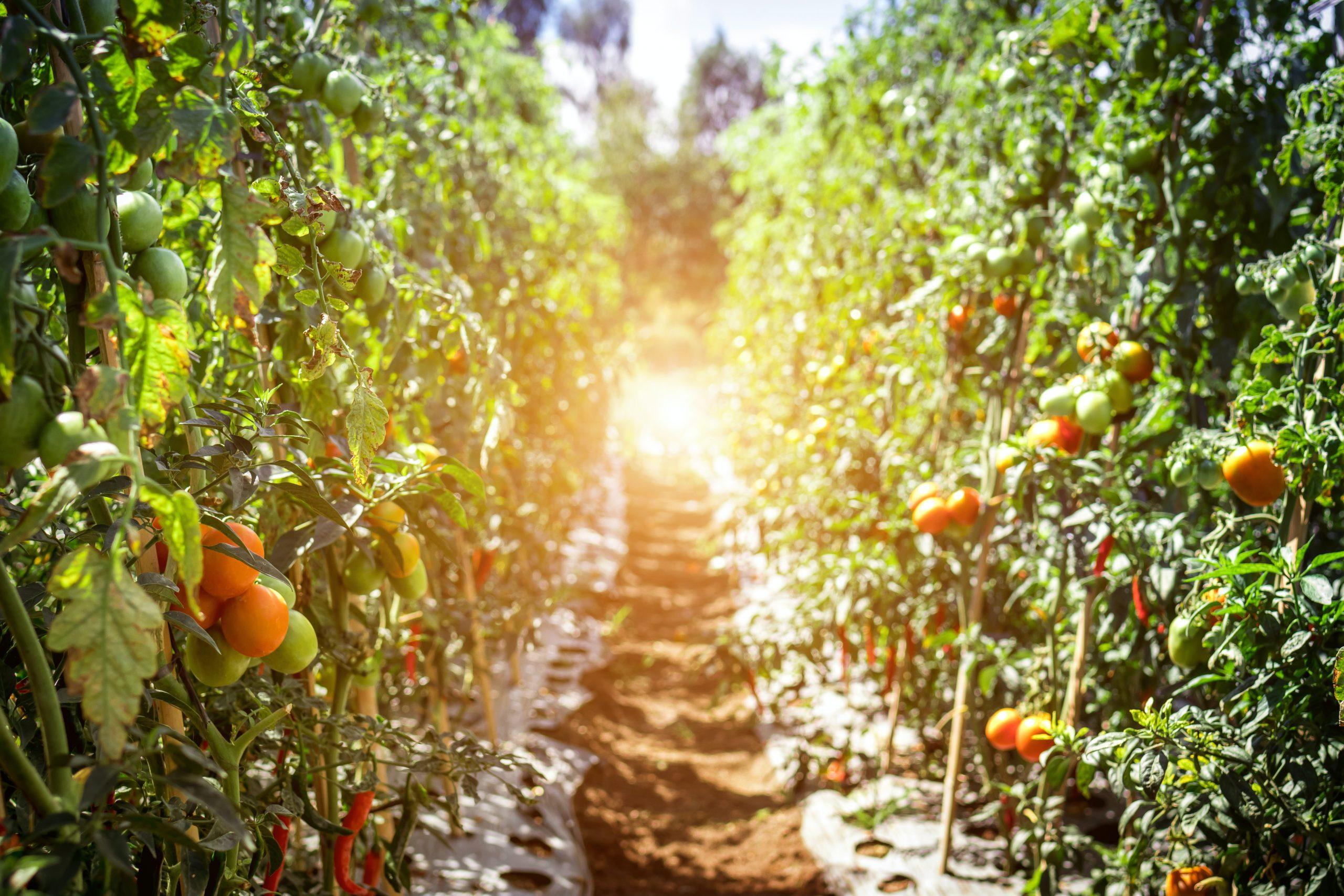 path between tomato plants