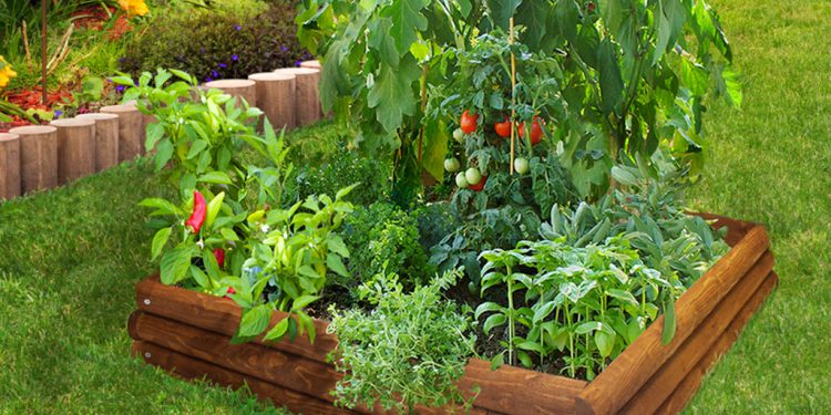 raised bed with tomatoes and companion plants