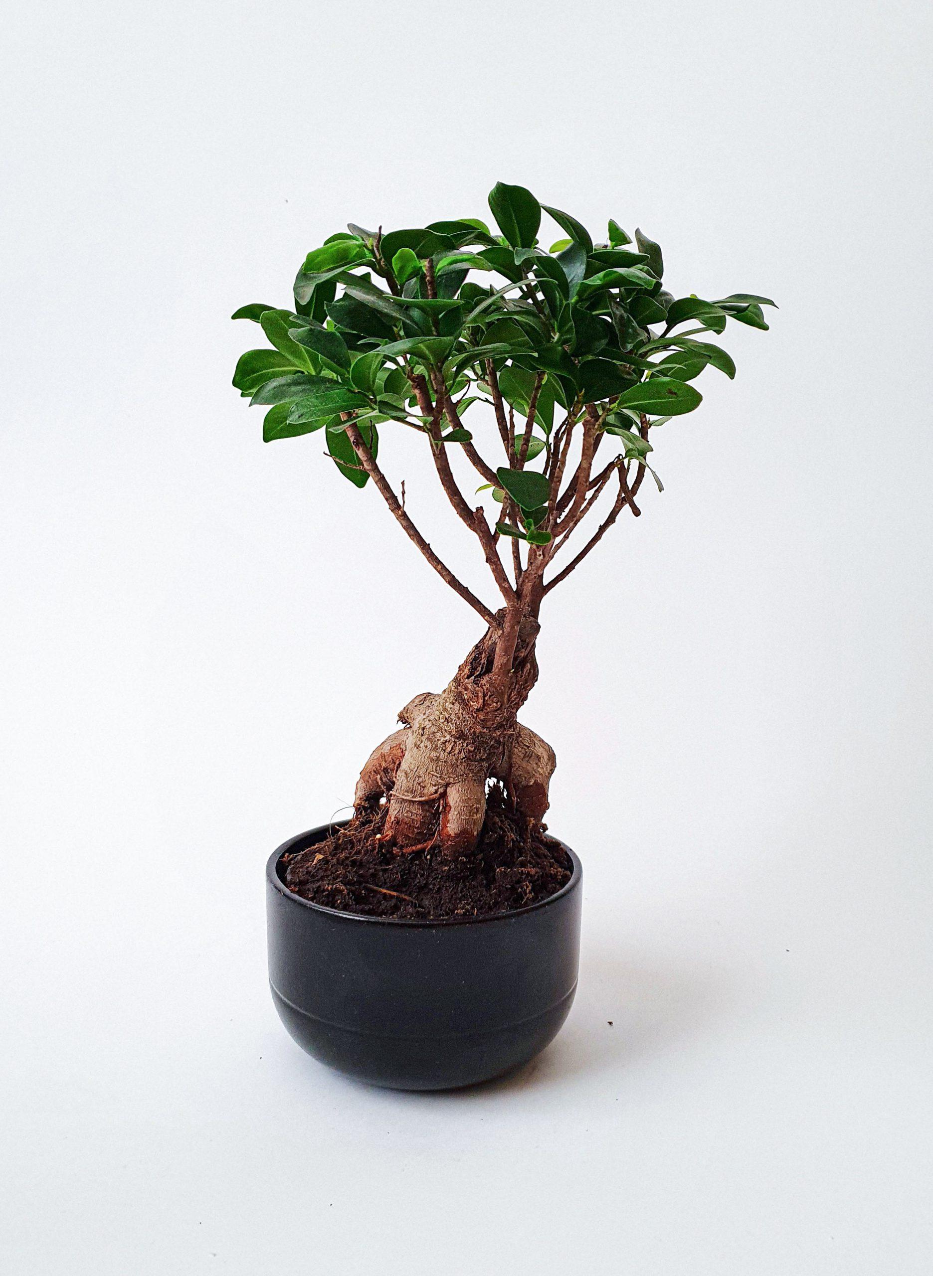 bonsai weeping fig