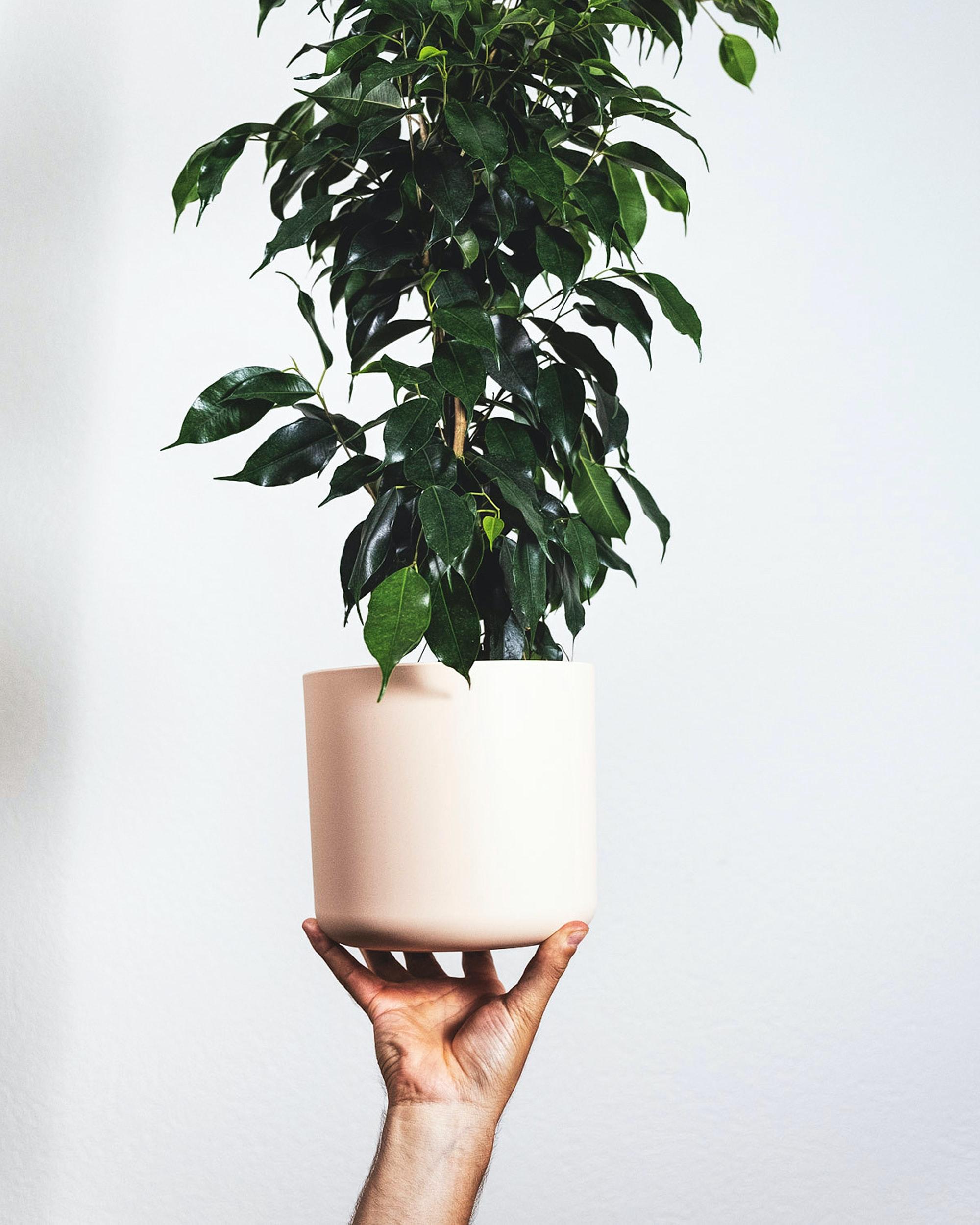 houseplant weeping fig