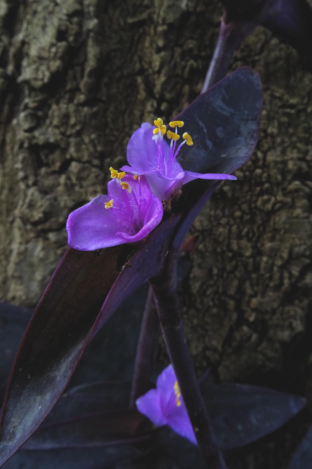 lilac flowering tradescantia