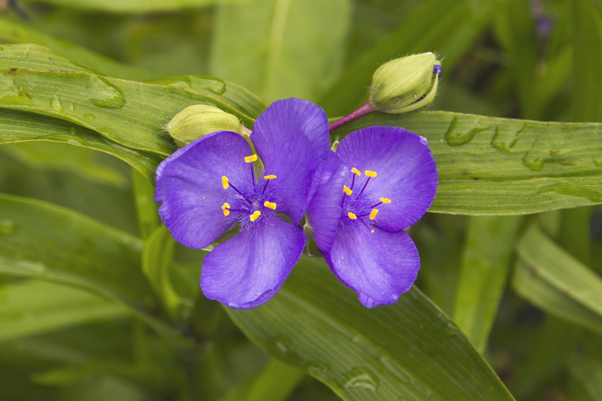 ohio spiderwort tradescantia flower