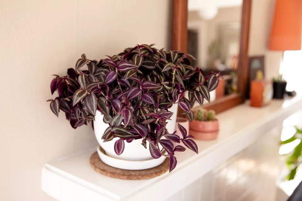 spiderwort houseplant